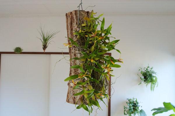 天井からさげている観葉植物