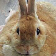 茶色のウサギ・ネザーランド