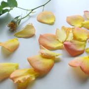 黄色のバラの花びら